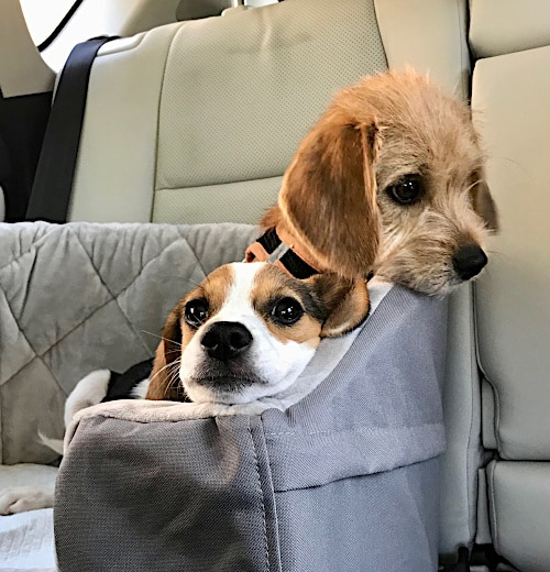 Lost Paws Rescue of Texas - Lauren and Levi Going to their New Home